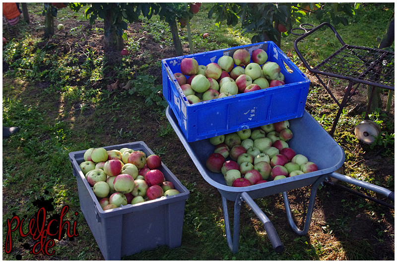 Apfelbaumernte 2016