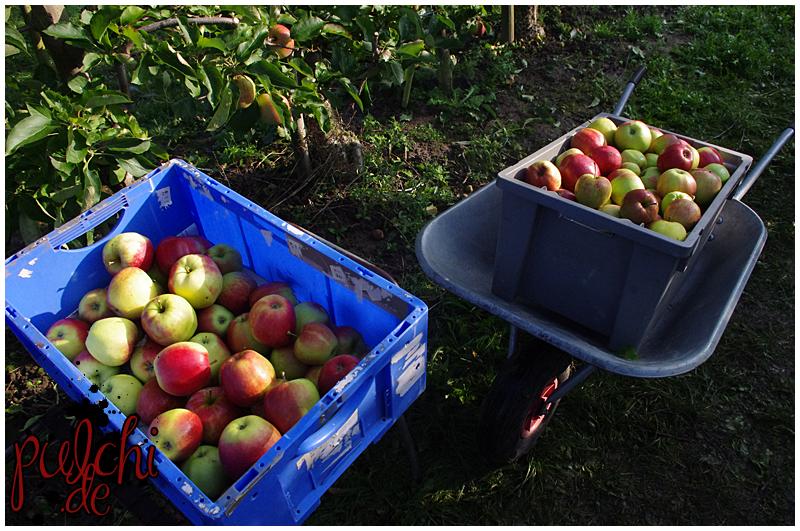 Apfelbaumernte 2017